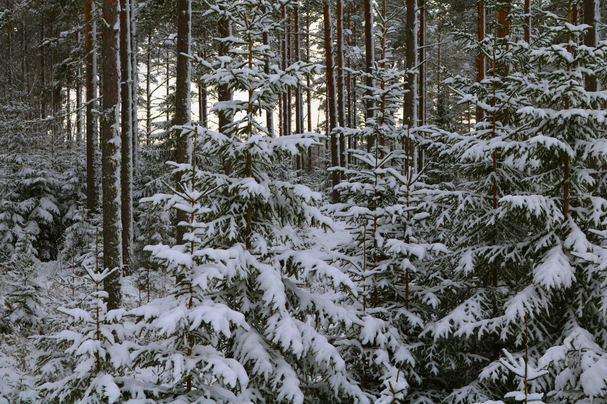 Julgransskog